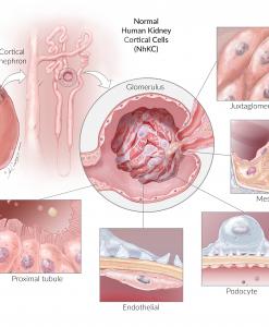 NhKC Kidney